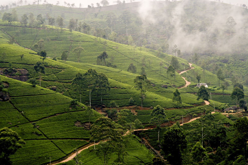 Green tee terrasses in the highland from Sri Lanka in fog near Nuwara Eliya_52862105